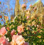 kirche-rosen-150